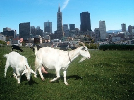 City Grazing